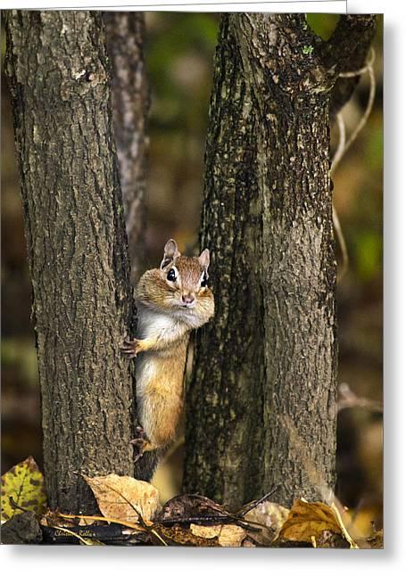 Chipmunk Peek A Boo Greeting Card by Christina Rollo