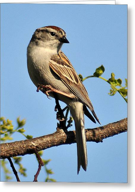 Chipping Sparrow 246 Greeting Card