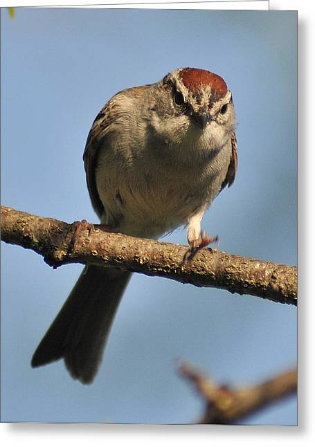 Chipping Sparrow 265 Greeting Card