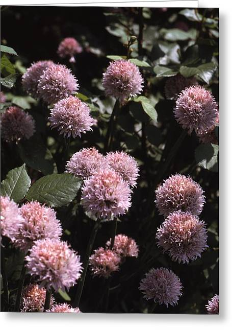 Chive Flowers Greeting Card by Retro Images Archive