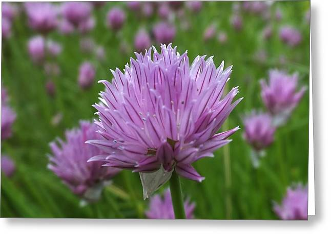 Greeting Card featuring the photograph Chive by Gene Cyr