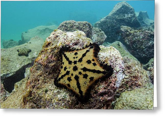 Chocolate Chip Starfish (nidorelllia Greeting Card by Pete Oxford