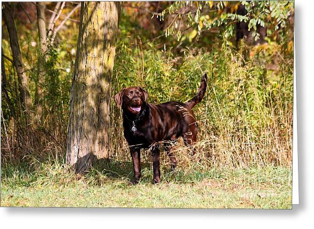 Chocolate Lab Cuteness Greeting Card