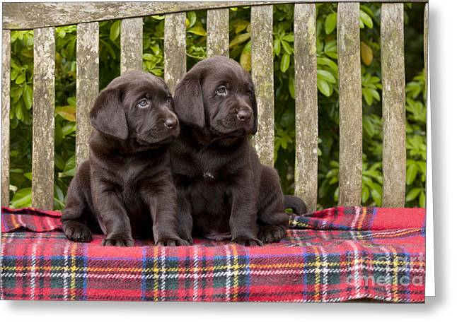 Chocolate Lab Puppy Dogs Greeting Card by John Daniels