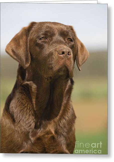 Chocolate Labrador Dog Greeting Card by Jean-Michel Labat