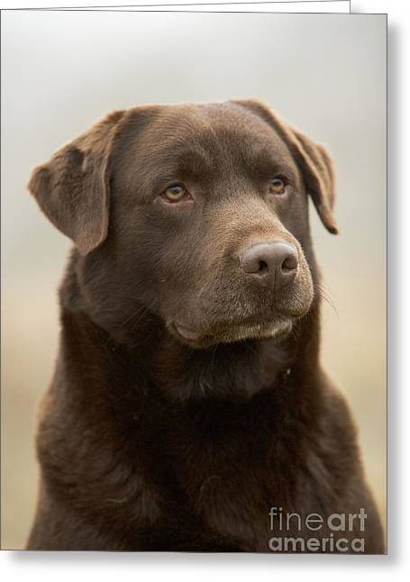Chocolate Labrador Greeting Card by Jean-Michel Labat