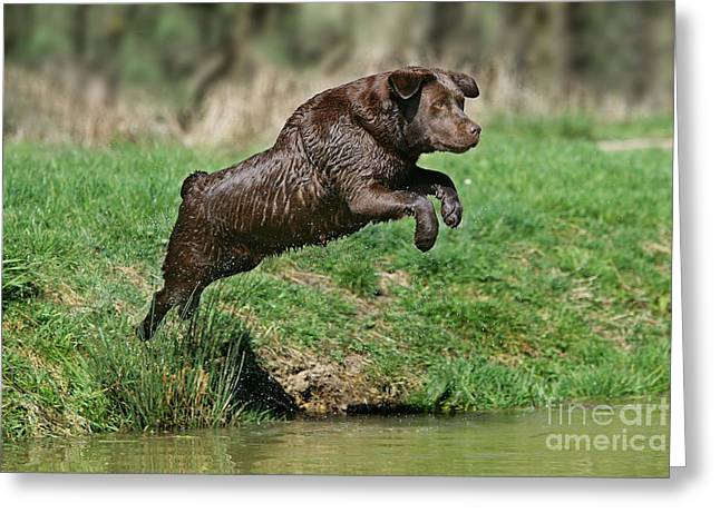 Chocolate Labrador Jumping Greeting Card by Jean-Michel Labat