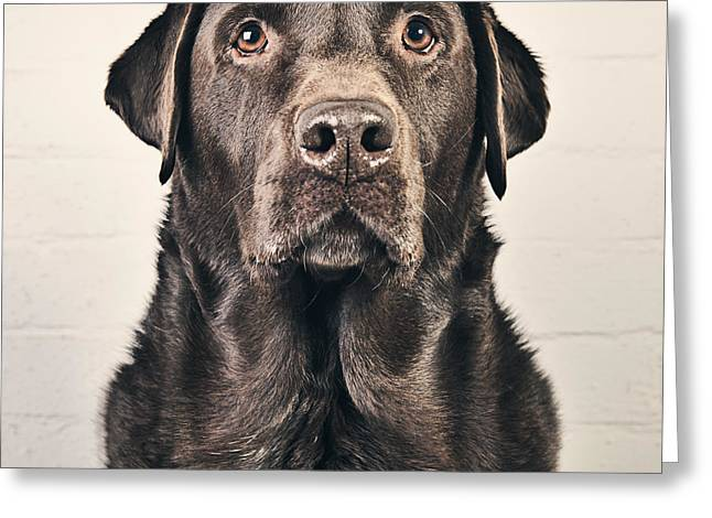 Chocolate Labrador Portrait Greeting Card by Justin Paget
