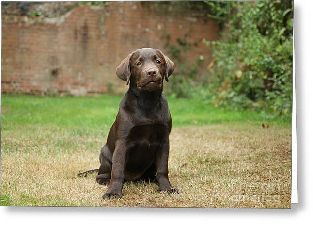 Chocolate Labrador Pup Sitting Greeting Card by Mark Taylor