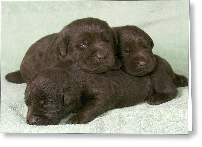 Chocolate Labrador Puppies Greeting Card by Jean-Michel Labat