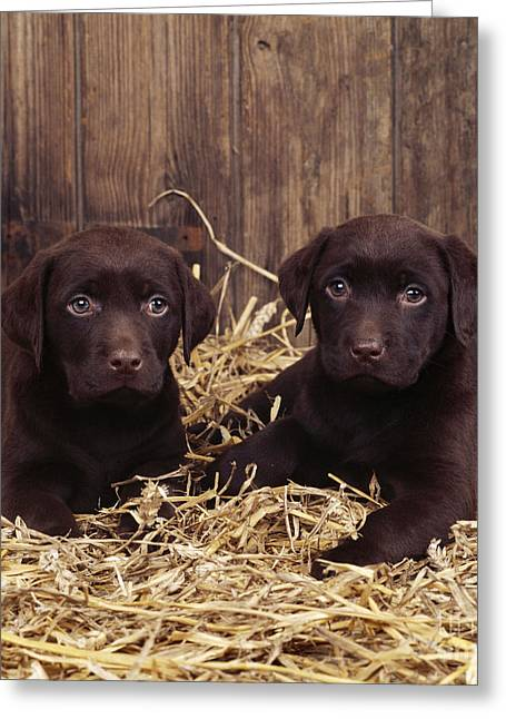 Chocolate Labrador Puppies Greeting Card by John Daniels