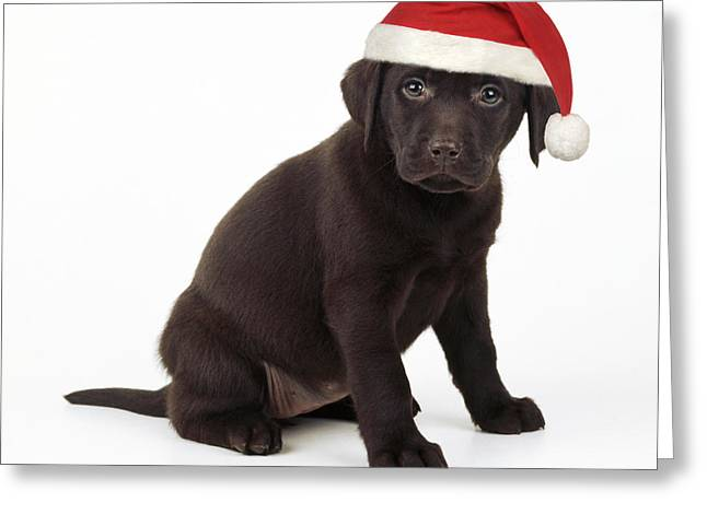 Chocolate Labrador Puppy, 6 Weeks Old Greeting Card by John Daniels