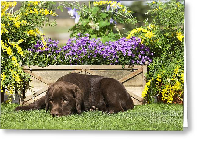 Chocolate Labrador Puppy Greeting Card by Jean-Michel Labat