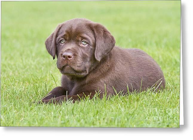 Chocolate Labrador Puppy Greeting Card by Johan De Meester