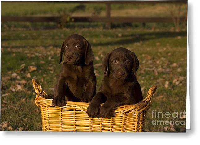 Chocolate Labrador Retriever Pups Greeting Card by Linda Freshwaters Arndt