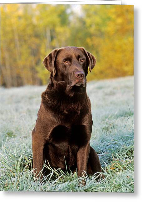 Chocolate Labrador Retriever Greeting Card by Rolf Kopfle
