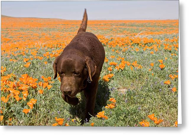 Chocolate Labrador Retriever Walking Greeting Card by Zandria Muench Beraldo