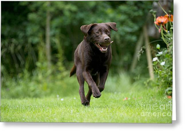 Chocolate Labrador Running Greeting Card by John Daniels