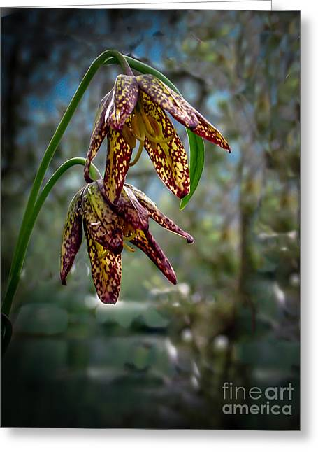 Chocolate Lily Greeting Card