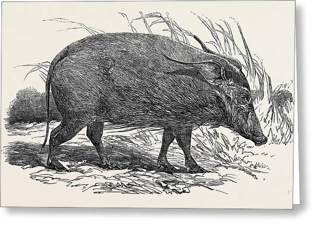 Choiropotamus, Or Red Hog Of The Cameroons Greeting Card
