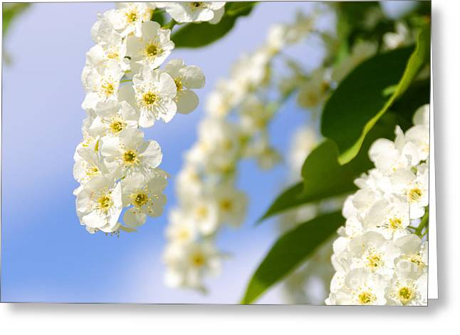 Choke Cherry In Bloom Greeting Card by Gary Whitton