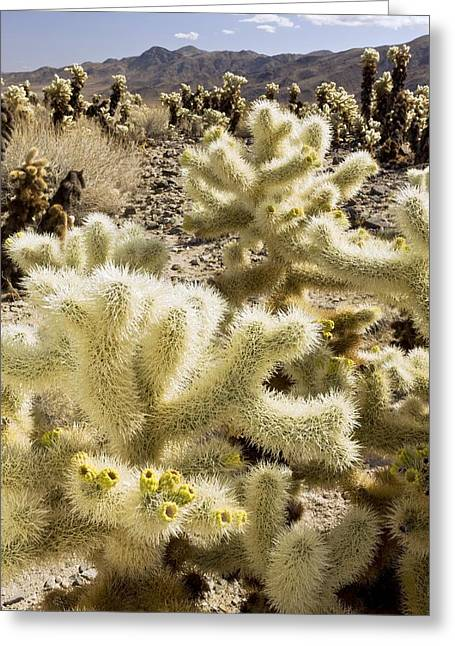 Cholla (cylindropuntia Bigelovii) Cactus Greeting Card by Science Photo Library