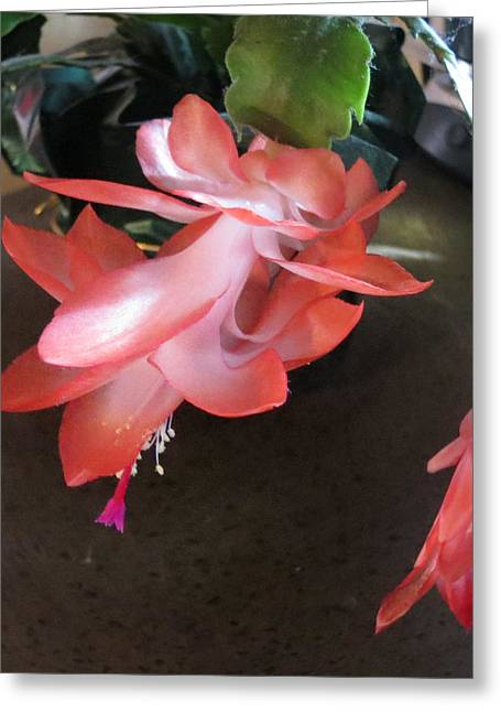 Christmas Cactus Bloom Greeting Card