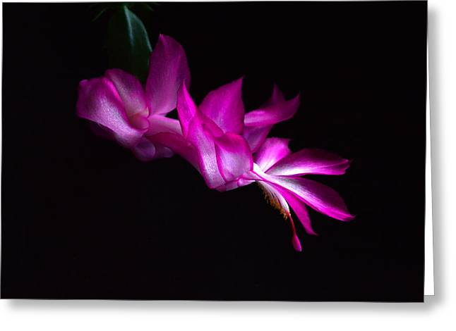 Greeting Card featuring the photograph Christmas Cactus Blossom by Bill Swartwout