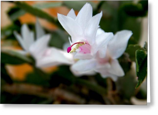 Christmas Cactus Flower Greeting Card by Marv Russell