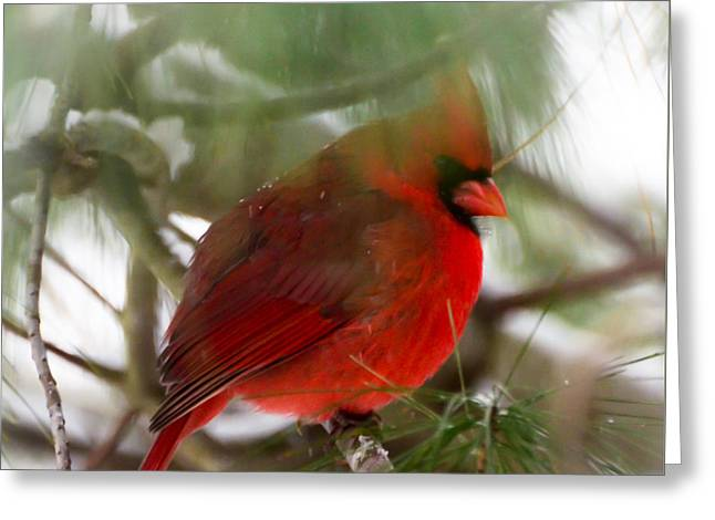 Greeting Card featuring the photograph Christmas Cardinal by Kerri Farley