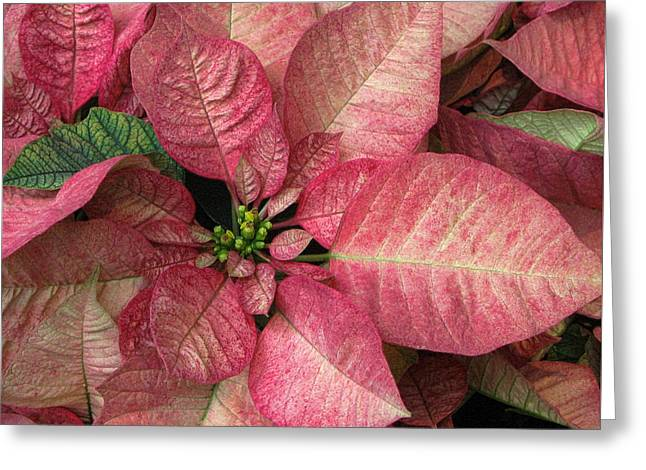 Greeting Card featuring the photograph Christmas Flower by Tammy Espino
