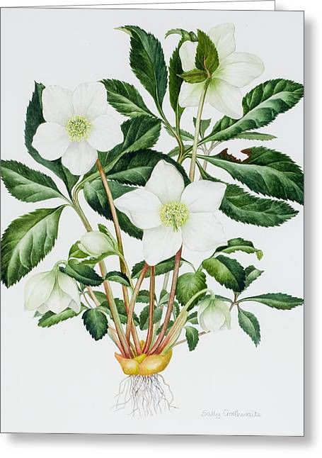 Christmas Rose Greeting Card by Sally Crosthwaite