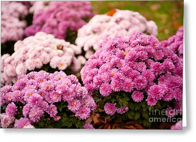 Many Pink Dendranthema Or Chrysanthemum Blooming  Greeting Card