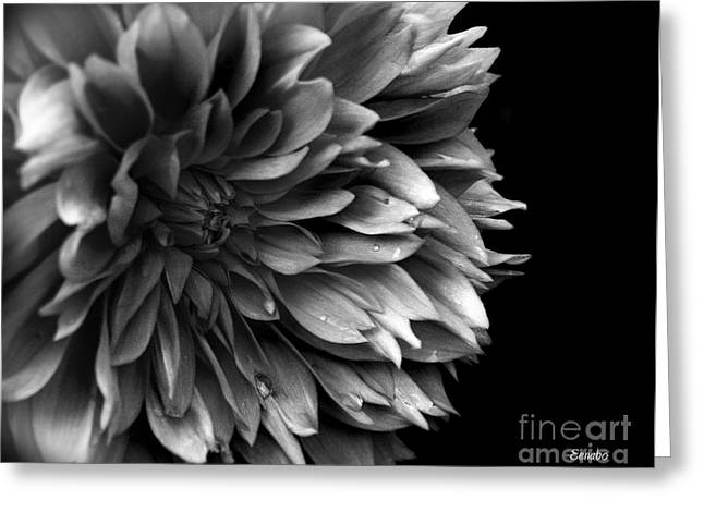 Chrysanthemum In Black And White Greeting Card