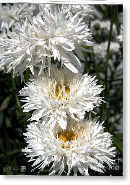 Chrysanthemum Named Crazy Daisy Greeting Card by J McCombie