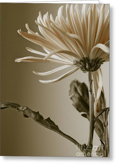 Greeting Card featuring the photograph Chrysanthemum Petals 2  by Jo Ann Tomaselli