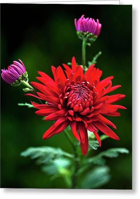 Chrysanthemum 'red Mist' Greeting Card by Ian Gowland