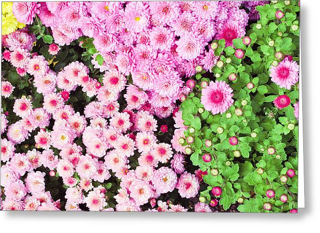 Chrysanthemums Greeting Card by Tom Gowanlock