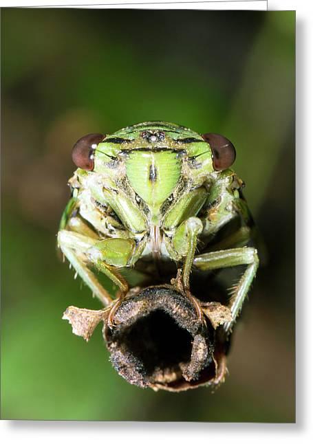 Cicada Greeting Card by Dr Morley Read