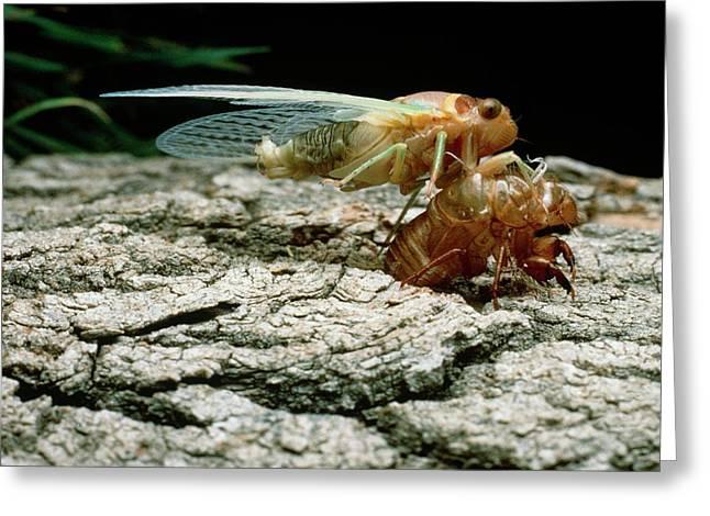 Cicada Metamorphosis Greeting Card