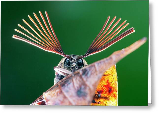 Cicada Parasite Beetle Greeting Card by Melvyn Yeo