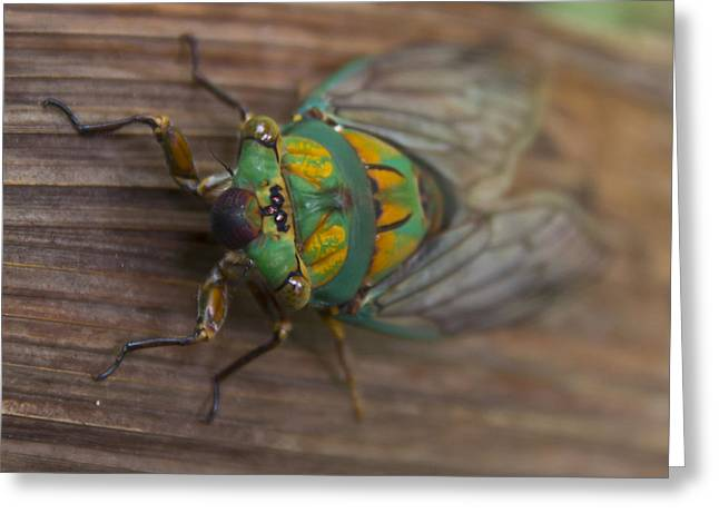 Green Whizzer Cicada Greeting Card by Debbie Cundy