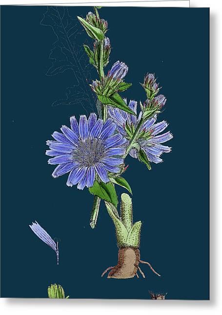 Cichorium Intybus Wild Succory Greeting Card