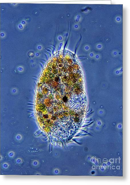 Ciliated Protozoan Greeting Card by De Agostini Picture Library