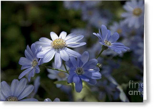 Cineraria  1217 Greeting Card by Terri Winkler