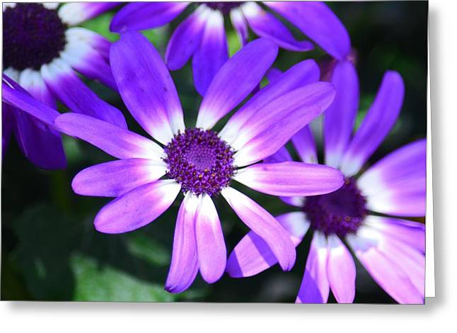 Cineraria Greeting Card by Maria Urso