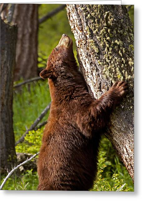 Greeting Card featuring the photograph Cinnamon Boar Black Bear by J L Woody Wooden