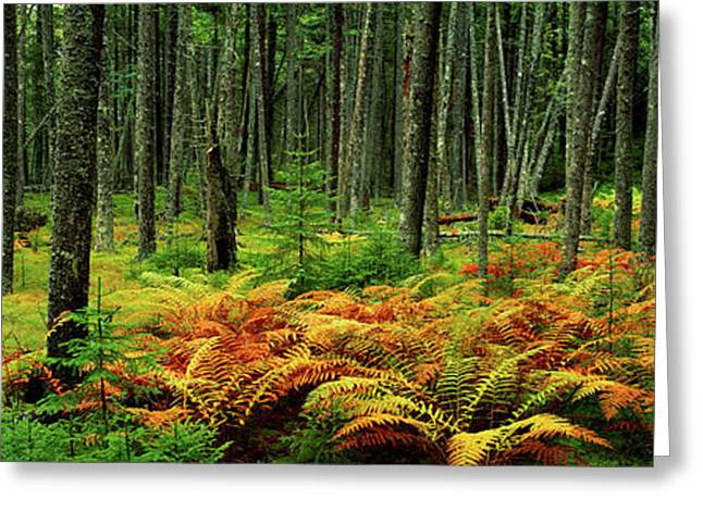 Cinnamon Ferns And Red Spruce Trees Greeting Card by Panoramic Images