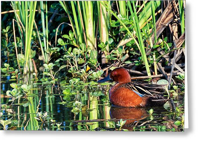 Cinnamon Teal And Dragonfly Greeting Card