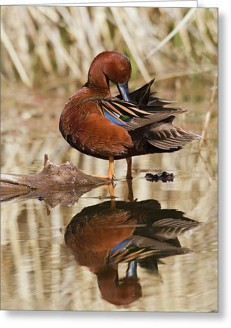Cinnamon Teal Drake Preening Greeting Card